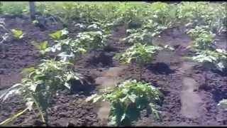 Как обрезать помидоры томаты   смотреть видео(, 2015-07-03T13:28:52.000Z)