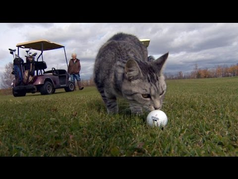 This Alberta kitty keeps golfers on course