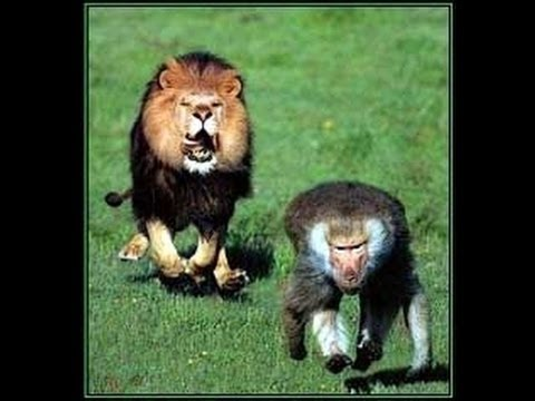 Funny video lion and monkey in haryanvi try not to laugh ...