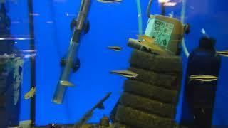 цены на аквариумных рыбок, Нанностомус Бекфорда, Nannostomus beckfordi