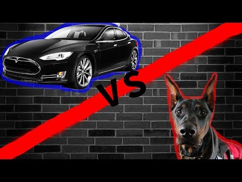DOBERMAN VS TESLA | Which one knows the most tricks??
