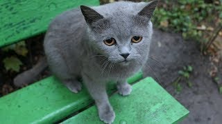 Gray cat meow on a bench