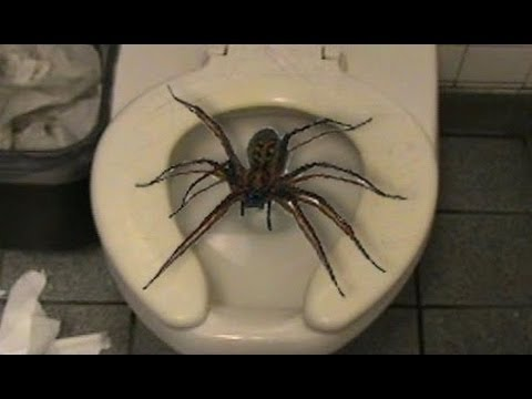 White Tail Spider New Zealand Youtube