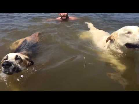 """Synchronized"" dog swimming"