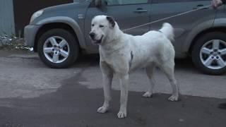 Азиатка Тина - потомок моих собак, приезжала в гости на вязку.
