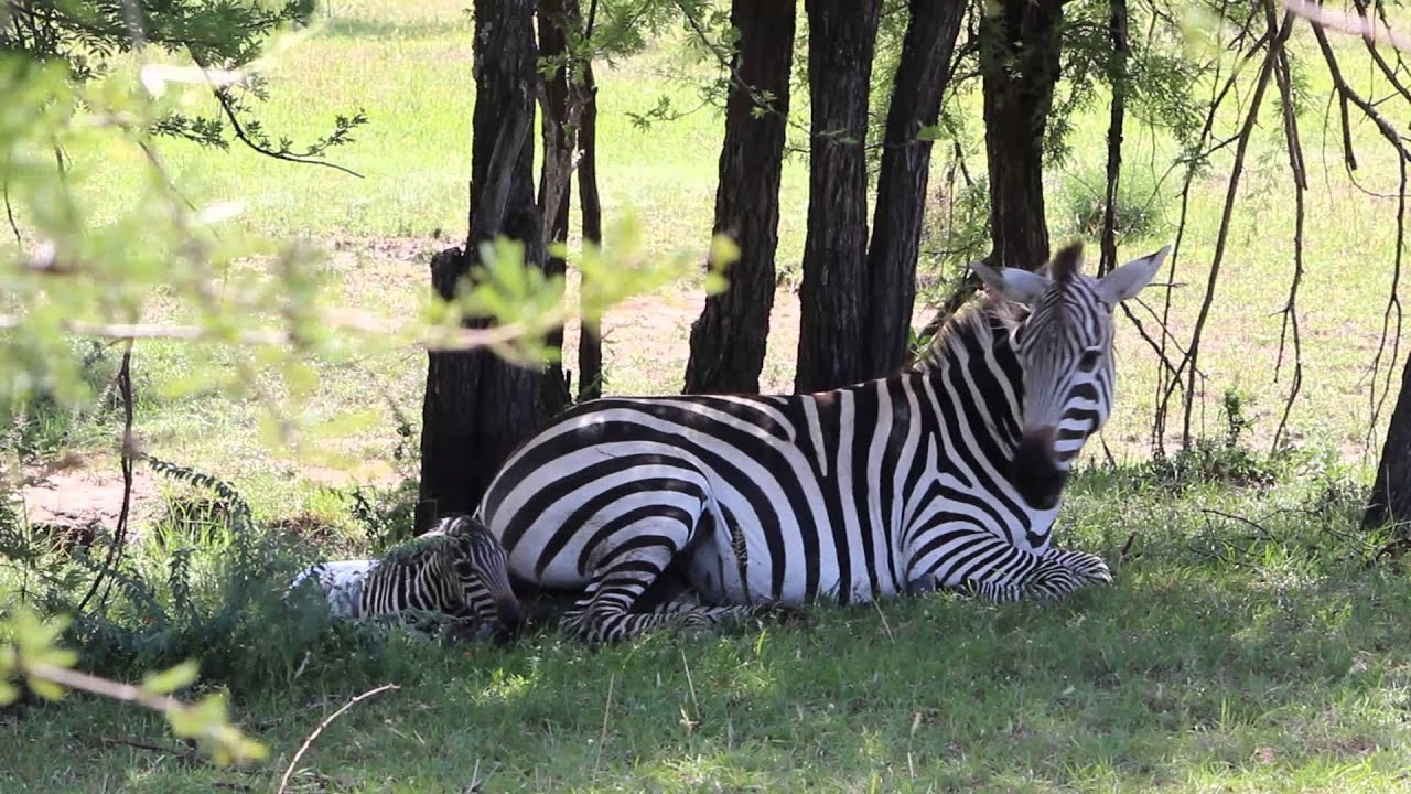 Zebra Live Birth