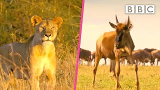 Wildebeest tries to protect her baby from a lioness 😲 BBC
