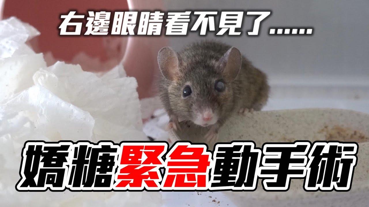 【維鼠日記】嬌糖緊急動手術,老年鼠眼睛病變險失明?!【維特】#114