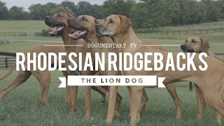 ALL ABOUT RHODESIAN RIDGEBACKS: THE AFRICAN LION HUNTING DOG