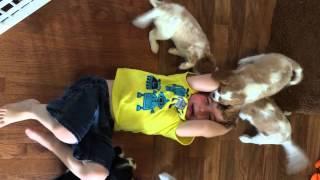 Cavalier King Charles Spaniel Puppies Maul Child