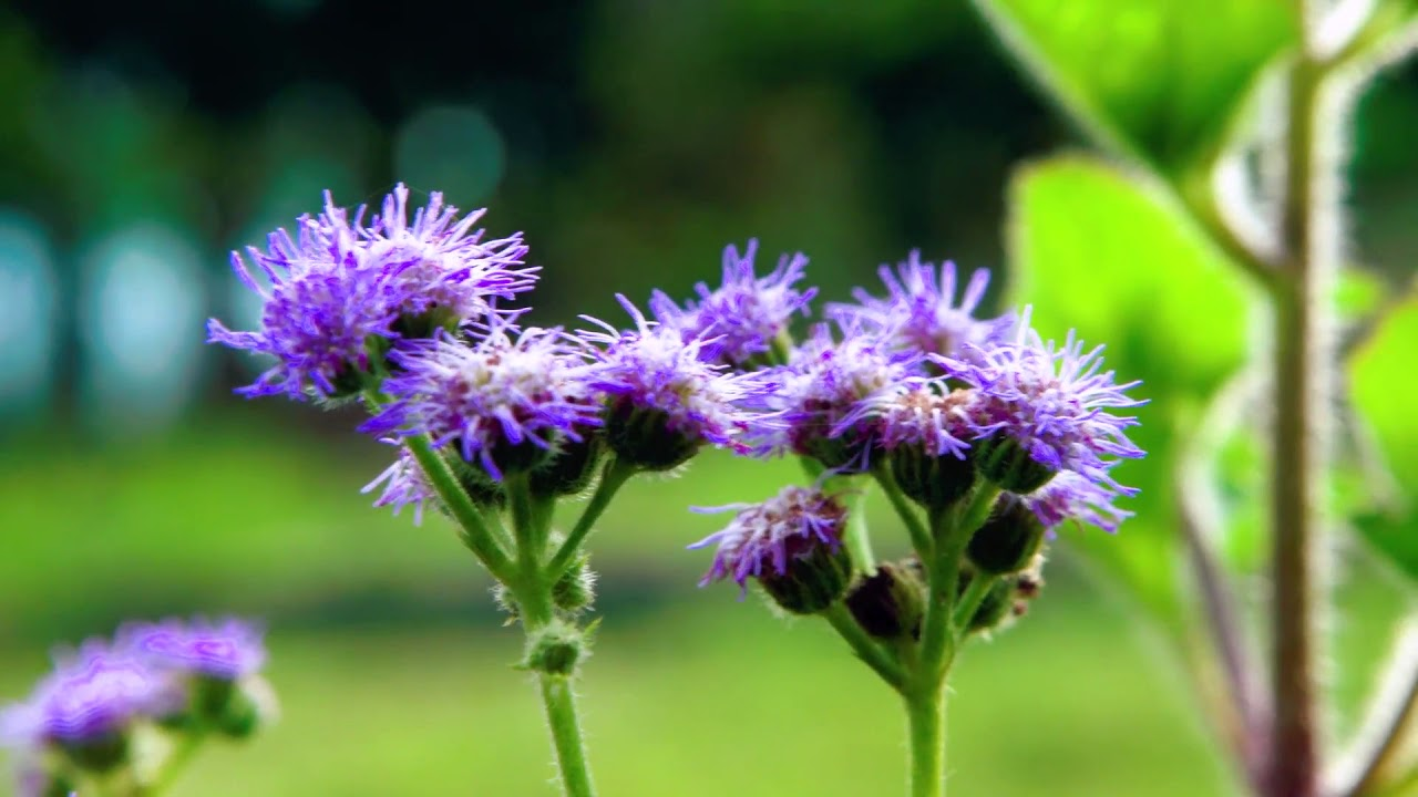 Ageratum: landing and care. Growing ageratum 97