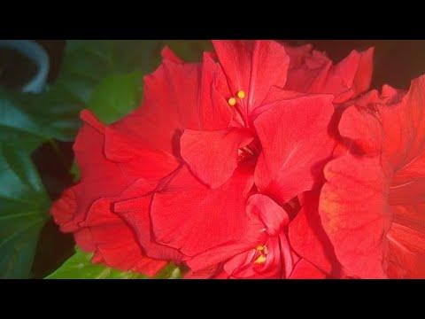 Китайская роза, уход.  Цветение в январе