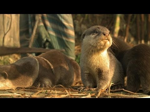Bangladesh otter fishing tradition faces extinction