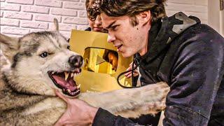 ЧЕЛОВЕКИ ЗАБРАЛИ МОЮ ЗОЛОТУЮ КНОПКУ!!! (Хаски Бандит) Говорящая собака