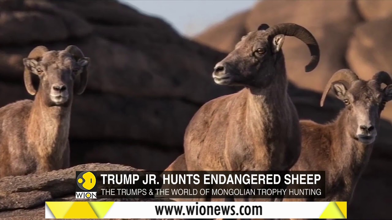 donald trump jr sheep