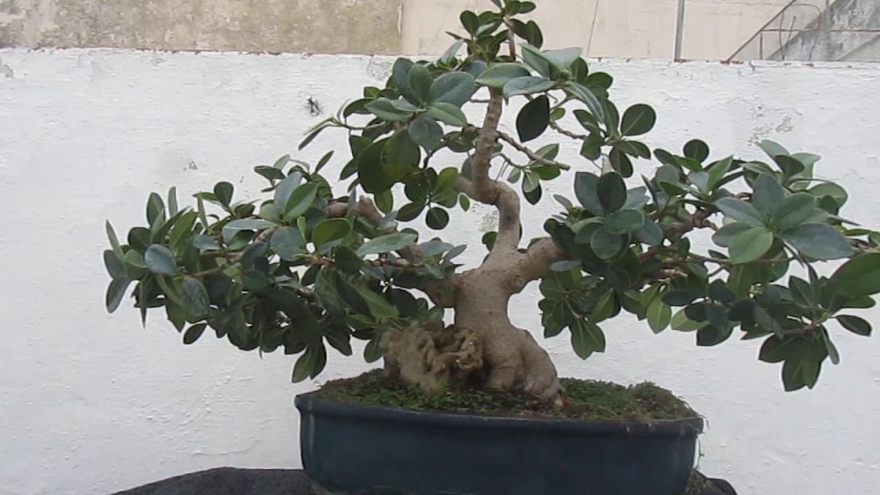 Ficus Green Island Youtube