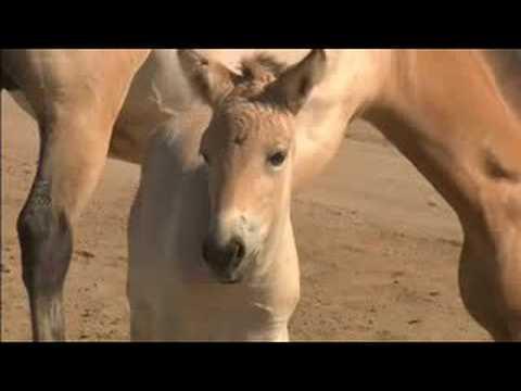 Rare Horses Born At San Diego Zoo S Wild Animal Park Youtube