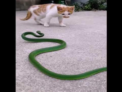 毒蛇篇~蜈蚣大战眼鏡蛇,隱形的百步蛇,小貓勇鬥青竹絲