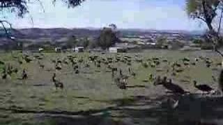 Emu Dance