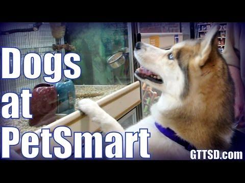Siberian Husky shopping at PetSmart | Dogs go Shopping