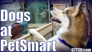 Siberian Husky Shopping At Petsmart | Dogs Go Shopping