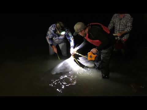 3.1M Manning River Bull Shark