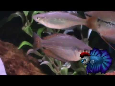 Australian Rainbow Fish Sexing-Tell The Genders Easily Here