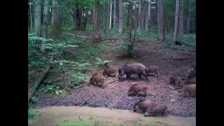 """Obserwator 34: """"Dzik jaki jest..."""" /  """"Wild boar as it is..."""""""