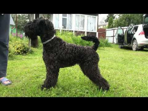 Kerry Blue Terrier (14 months): country life / Керри блю терьер (14 месяцев): дачная жизнь