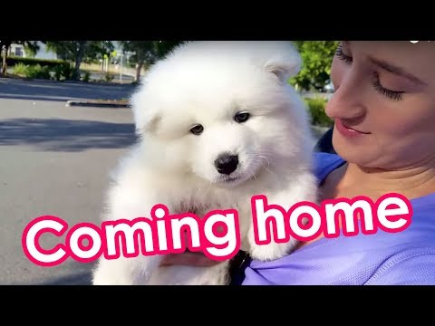 Samoyed Puppy Off To His New Home! (8 weeks old)