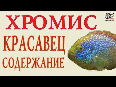 Как содержать разводить Хромисов Красавцев. Аквариумные рыбки