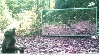 male mandrill with impressive canines - mandrill mâle aux canines impressionnantes