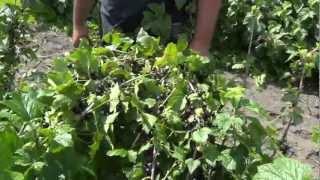 видео Смородина черная  Селеченская