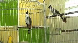 Video | Chim Chào Mào Đấu Nhau, Chào mào chẻ | Chim Chao Mao Dau Nhau, Chao mao che