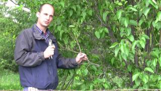 How to Prune Lilac Bushes - Gurney