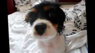 Tomie Funny Cavalier Kings Charles Spaniel Puppy!