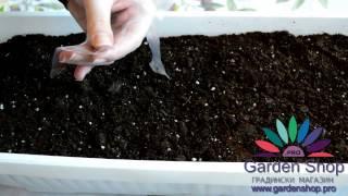 Какдазасадимсортовисеменанаягода-Howtoplantstrawberryseeds(Fragariaveska)