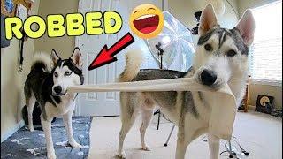 Husky REFUSES To Stop Stealing Socks!
