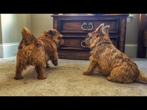 Norfolk Terriers Keeping Ernie Under Control