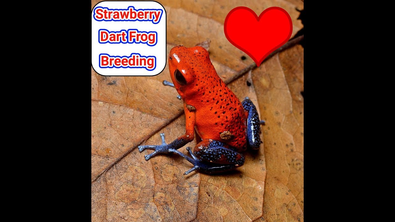 STRAWBERRY DART FROG BREEDING (ophaga pumilio) (blue jeans dart frogs)