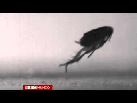 Develan el misterio del salto de la pulga Video BBC Mundo