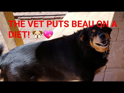 The vet puts cute dog Beau on a diet! 🐶💖