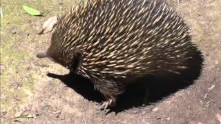 Australian wildlife: cute Ekidna, looks chubby