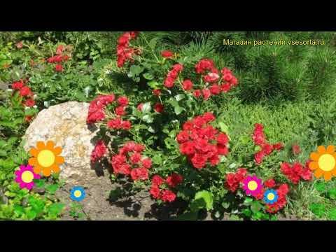 Роза почвопокровная Скарлет Мейдиланд. Краткий обзор, описание характеристик Scarlet Meidiland
