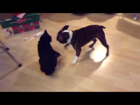 Épica batalla entre un Boston Terrier y un gato Manx