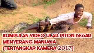 Kumpulan Video Ular Piton Besar Menyerang Manusia (Tertangkap Kamera 2017)