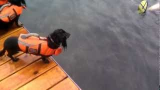 Dachshund - Swimming In Life Jacket