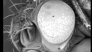 Common fruit fly (vinegar fly) observed using Scanning Electron Microscope (SEM) thumbnail