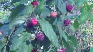 Ремонтантная малина посадка, выращивание, уход, обрезка на зиму, отзывы видео(Как ухаживать за малиной осенью. Выращивание малины осенью ремонтантного сорта - это высокая урожайность,..., 2015-03-05T16:44:49.000Z)