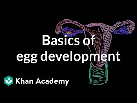 Basics Of Egg Development | Reproductive System Physiology | NCLEX-RN | Khan Academy